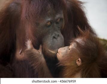 Orangutan monkey, Borneo, Tanjung Puting National Park: a kiss between mother and child