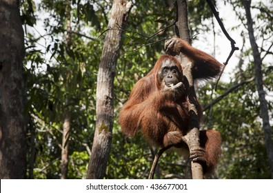 Orangutan monkey, Borneo, Tanjung Puting National Park: sitting on the tree