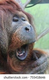 orangutan monkey head with beautiful brown eyes