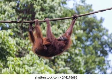 Orangutan mother with her baby