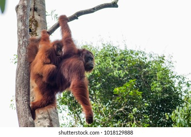 Orangutan mother holds her baby in the trees above the feeding station at Camp Leakey, Tanjung Puting National Park, Kalimantan, Indonesia