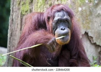 Orangutan nibbling on a grass blade