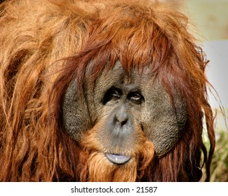 orangutan, old and wise
