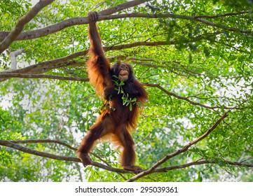 the orangutan on tree.