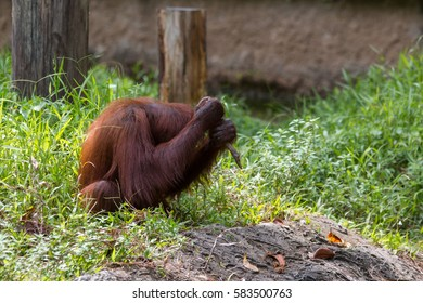 Orangutan , orangutans are the two exclusively Asian species of extant great apes , orangutans are currently found in only the rainforests of Borneo and Sumatra.(selective focus and motion blur)