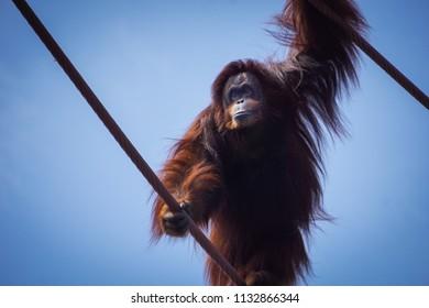 orangutan photographed from below