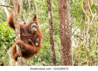 Orangutan (Pongo pygmaeus) - Swinging with Mother