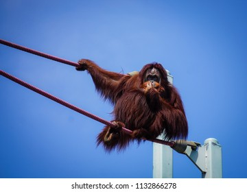 orangutan posing on ropes