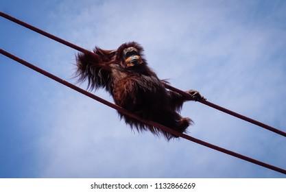 orangutan relaxing on ropes