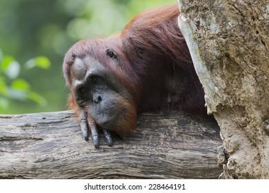 Orangutan relaxing on a tree trunk