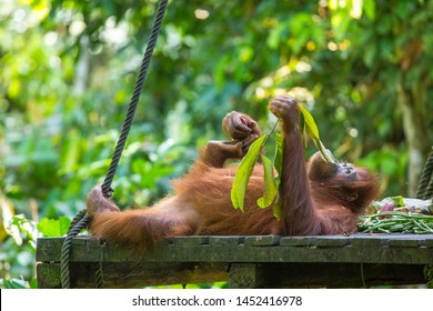 Orangutan resting in the park of the sepilok. Island of Borneo
