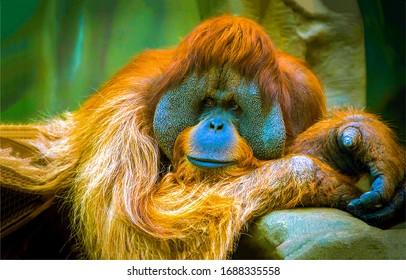 Orangutan is in a sad reverie