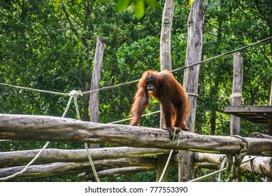 Orangutan or scientific name Pongo pygmaeus is great apes native only found in the rainforest of Borneo and Sumatra.