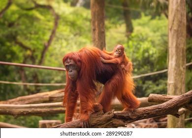Orangutan in the Singapore Zoo at the tree
