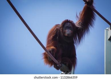 orangutan in the sky