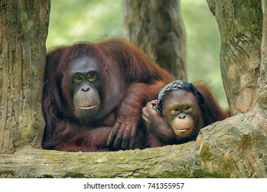 Orangutan species of extant great apes. Native to Indonesia and Malaysia, orangutans are currently found in only the rainforests of Borneo and Sumatra. Classified in the genus Pongo,