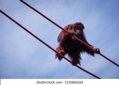 orangutan standing on ropes