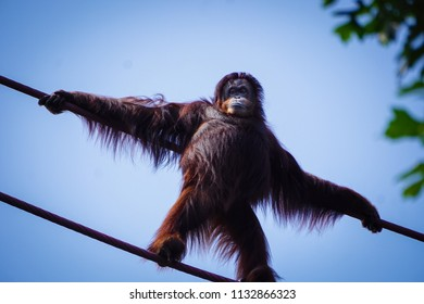 orangutan standing on ropes in the air