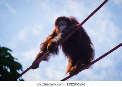 orangutan staring at camera