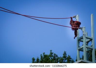orangutan starting to climb