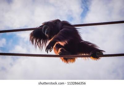 orangutan in the sunlight in the sky