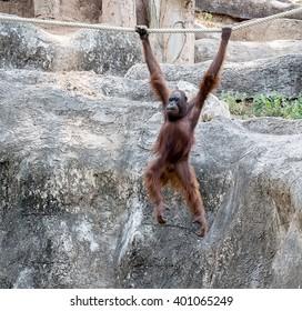 Orangutan swinging on rope