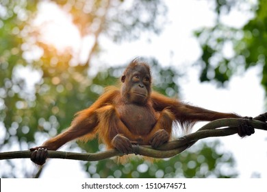 Orangutan swinging on rope in the park, selective focus.