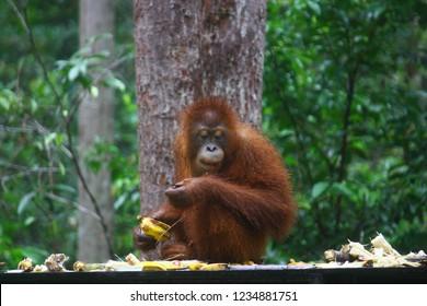 Orangutan of Tanjung Puting national park in Borneo, Indonesia