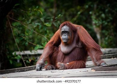 Orangutan in Tanjung Puting National Park kalimantan