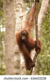 Orangutan in Tanjung Puting National Park, Central Kalimantan, Indonesia