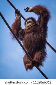 orangutan tight rope walker