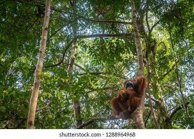 Orangutan up in tree jungle portrait. Semi-wild female orangutan in jungle rain forest  of Bukit Lawang, North Sumatra, Indonesia.