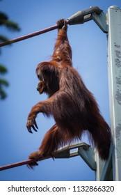 orangutan walking off tower