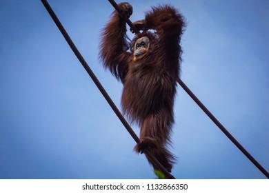 orangutan walking upright on ropes