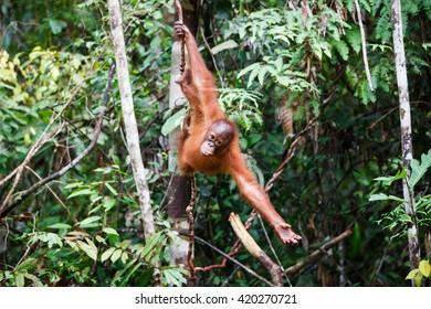 the orangutan in the wild