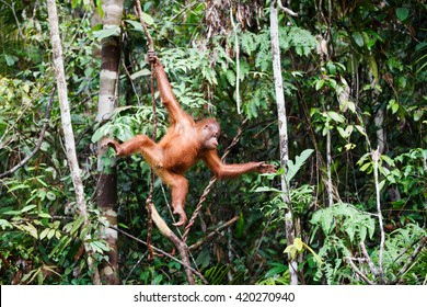 the orangutan in the wild
