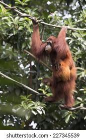 Orang-Utan with young