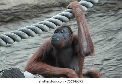 orangutan zoo nature