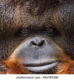 Orangutang portrait in Chiang Mai Zoo, Thailand ; specie Pongo pygmaeus family of  Hominidae