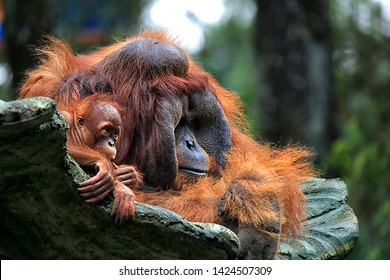 The orangutans (also spelled orang-utan, orangutang, or orang-utang) are three extant species of great apes native to Indonesia and Malaysia. Orangutans are currently only found in the rainforests.