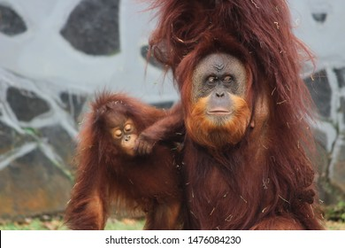 Orangutans are a great ape species that still exists native to Indonesia