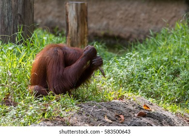 Orangutans was playing by it self , orangutans are currently found in only the rainforests of Borneo and Sumatra.(selective focus and motion blur)