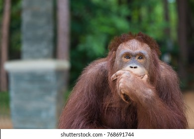 Orangutans posting thinking acting.And sit for the photographer to take a picture.