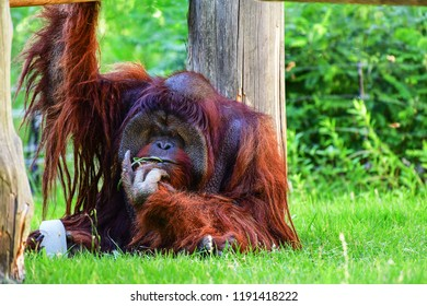 orangutans sitting on grass