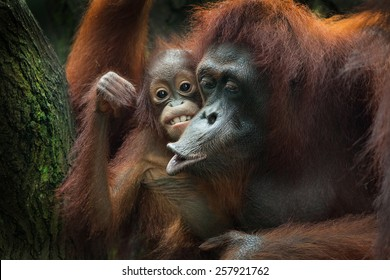 The orangutans are the two exclusively Asian species of extant great apes. Native to Indonesia and Malaysia, orangutans are currently found in only the rainforests of Borneo and Sumatra