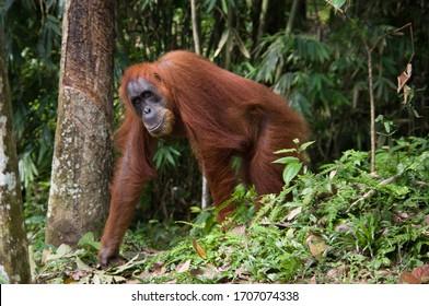 Orangutans in wildlife, Indonesia Bukit Lawang