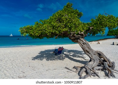 Oranjestad, Aruba - January 12 2018:   Divi Divi Trees on the shoreline of Eagle Beach in Aruba, Caribbean Sea Island