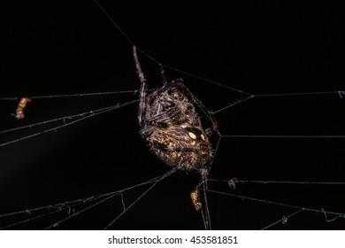 Orb Weaver Spider - Neoscona arabesca