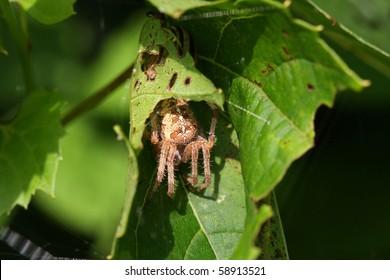 Orb Weaver Spider - Neoscona arabesca hiding in leaf