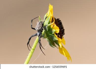 Orb weaving spider on sunflower